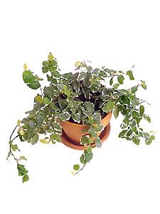 С мелкими листьями зелеными или с