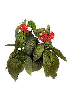 Пахистахис / Декоративно-цветущие ...